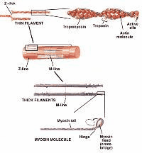Contracile proteins in muscle, actin and tropomyosin